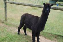 Alpaca black whether 5 years old Red Hill South Mornington Peninsula Preview