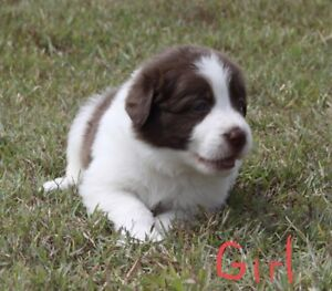 Beautiful Purebred Border Collie Puppies