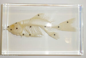 Fish-Skeleton-Cold-water-Goldfish-12-parts-labeled-Very-Large-Clear
