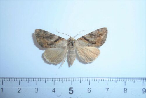 #865 Insects Moths Noctuidae Catocala bokhaica F Russia Far East Primorye