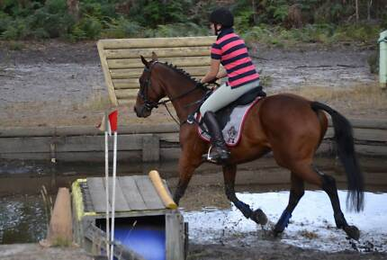 TB FOR EVENTING, PONY CLUB OR POLOCROSS - FOR SALE OR LEASE Puckapunyal Mitchell Area Preview