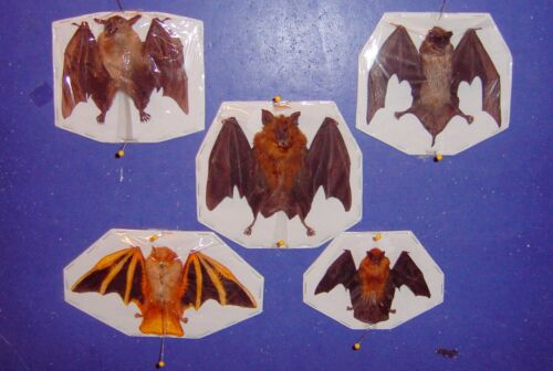 Bat taxidermy 5 Deluxe Species Displayed in The Folded and Half Folded Positions