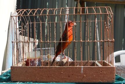 Red Siskin X Canary Matraville Eastern Suburbs Preview