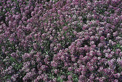Flower - Alyssum - Royal Carpet -