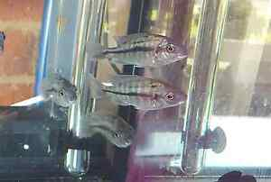 FS - Red Empress Breeding Females (African Cichlids) North Ryde Ryde Area Preview