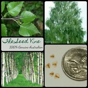 10+ SILVER BIRCH SEEDS (Betula pendula) Beautiful White Popular Deciduous Tree