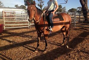 Kind Natured Reg QH Gelding Echuca Campaspe Area Preview