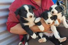 Border Collie Puppies Port Augusta 5700 Port Augusta City Preview