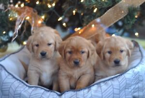 Labrador Retriever Pups (non papered)