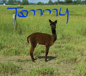 Tammy 10 months old alpaca free delivery Woodford Moreton Area Preview