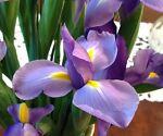 Blue Iris Treasures