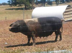 Pigs for sale Kendenup Plantagenet Area Preview