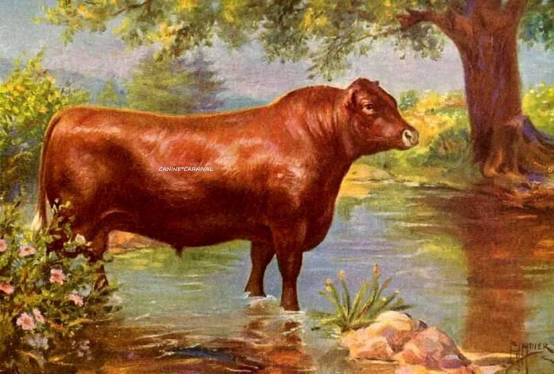 1925 ART Print CATTLE Bovine COW RED POLLED NORFOLK BULL ENGLISH BEEF & DAIRY