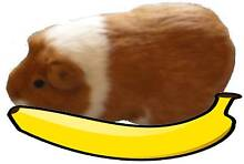Free Badly Edited Photo of a Guinea Pig Canley Heights Fairfield Area Preview