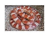 Various Snake Corn snakes, King snake, Royal Python