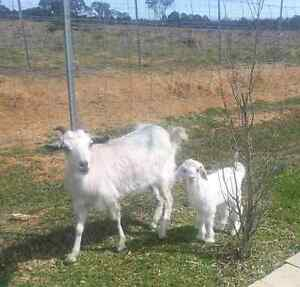 Adorable baby goat and mum Erskine Park Penrith Area Preview