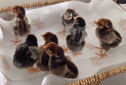 Wyandotte chickens. Day old chicks Neerabup Wanneroo Area Preview