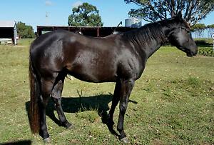 Black Quarter Horse Gelding Jacup Pallinup Area Preview
