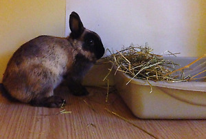 House bunny rabbits, litter trained