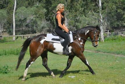Reg Paint mare, 10 y proven breeder, ready to breed Logan Village Logan Area Preview