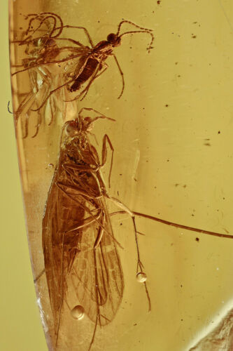 Baltic Amber with Caddisfly & 3 Gnat Inclusion! Comes w/4x Magnifying Top Case!