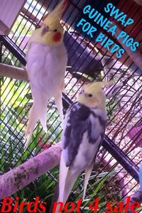 SWAP GUINEA PIGS FOR BIRDS Sandstone Point Caboolture Area Preview