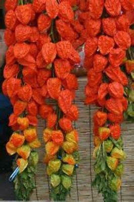 Chinese Lantern 15 Seeds!  FOR CRAFTS/ DECORATING  Comb. S/H! SEE OUR STORE! - Chinese Lantern Craft