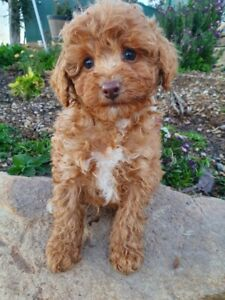 toy poodle in Queensland | Dogs & Puppies | Gumtree