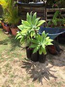 PLANT AGAVE Bundaberg West Bundaberg City Preview