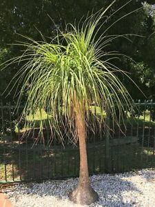 Ponytail Palm Tree's Camden South Camden Area Preview