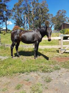 Thoroughbred mare- companion