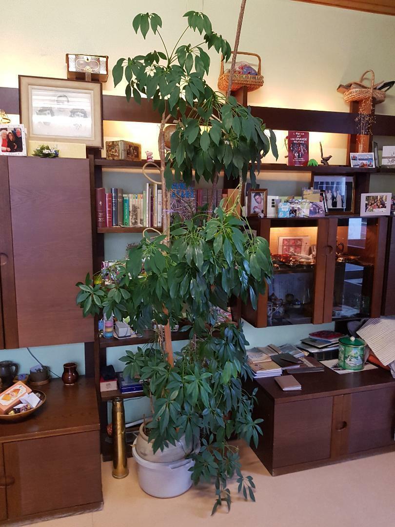 Ficus plante appartement