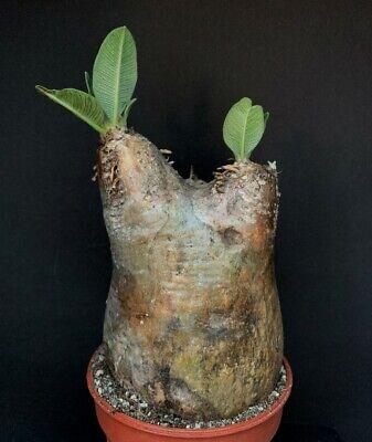 Pachypodium eburneum - 6-8 cm!