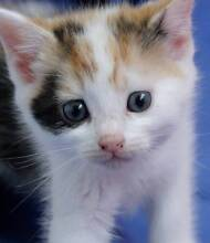 Kittens who purrrr at Pet-O rescued by WLPA Annandale Leichhardt Leichhardt Area Preview