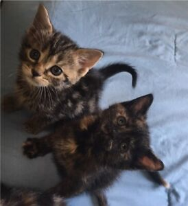 Adopt Cats & Kittens Locally in Guelph | Pets | Kijiji Classifieds
