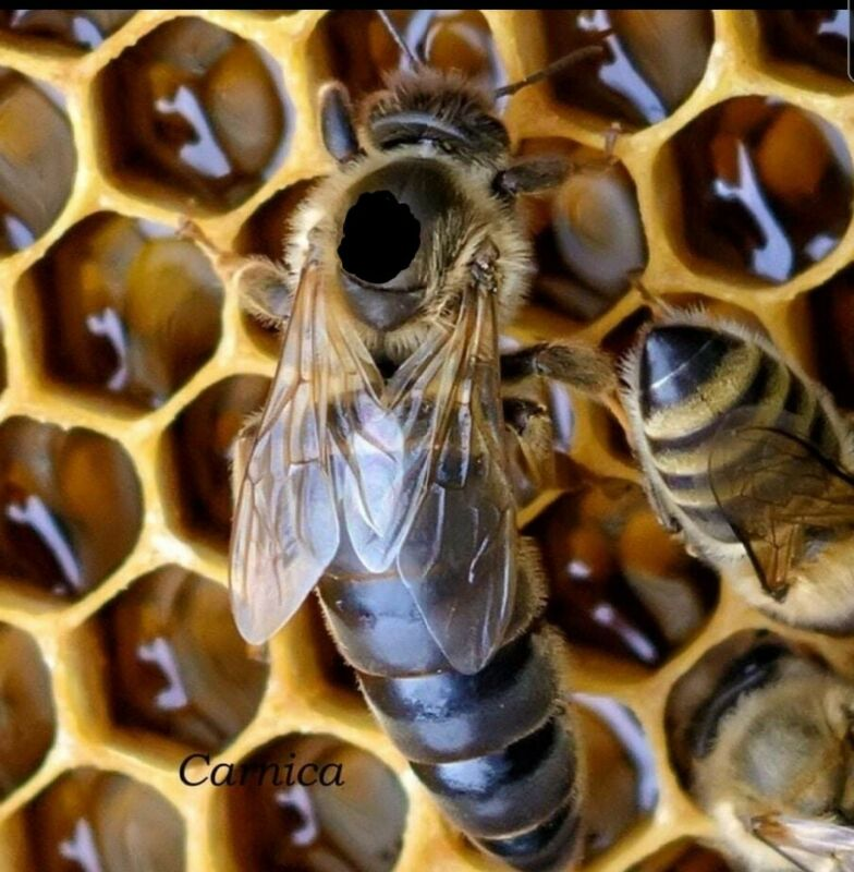 """2021 Honeybee Mated Queen Carniolan  Carnica Hybrid """"Northern"""" climate (Limited)"""