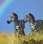 Zebra Threads