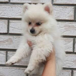 Price Reduced - Purebred Pomeranian