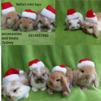 🎅🎄QUALITY  VACCINATED PUREBRED MINI LOPS  hutch package deals