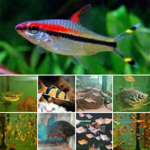 Weekly Special @Wat The Fish, Torpedo Barbs, Clown Loaches & MORE
