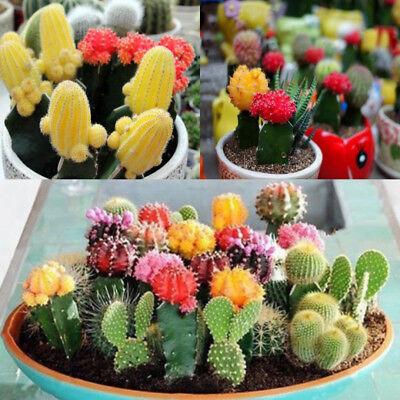 akteensamen Kaktus Sukkulenten Samen Bonsai Garten Dekor (Kaktus Dekor)