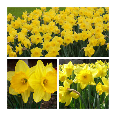 Daffodil Dutch Master x 25kg (Approx) Bulbs.Make a Spring display.