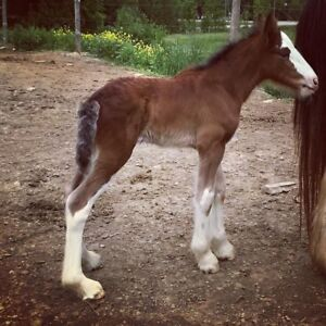 For Sale: Registered Clydesdale Filly