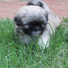 1 MALE PENKINESE X SHIHTZU PUPPY AVAILABLE 15th FEB Sydney City Inner Sydney Preview