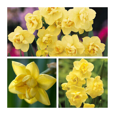 25KG (Approx) x Daffodil Yellow Cheerfulness Bulbs. Double Flowers