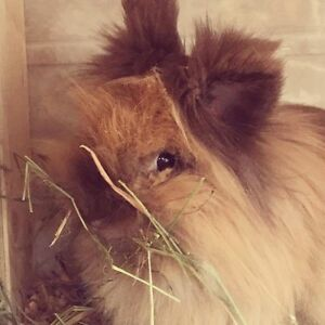 Beautiful Lionhead babies