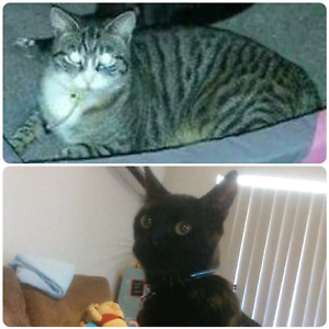 2 cats looking for new home Joondalup Joondalup Area Preview