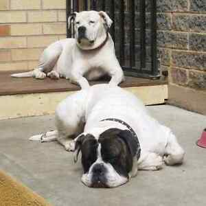 American Bulldog Puppies Para Hills Salisbury Area Preview