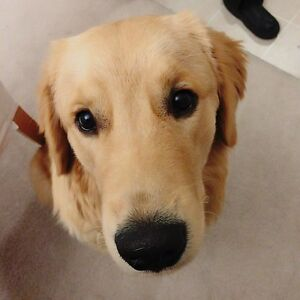 young Golden Retriever looking for new home