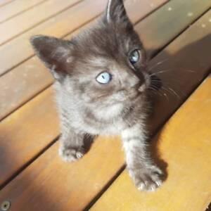 8 week old black kittens